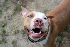 My Pit Bull Is Not a Breed Ambassador, But I Am Not Ashamed! | Dogster ~ Excellent article about the unrealistic expectations we sometimes have for our dogs