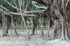 Inosculation of a Banyan Tree F benghalensis  #plant #inosculation #banyan #tree #benghalensis #photography