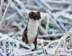 Stoat (Mustela erminea), also known as the short-tailed weasel, Photographer: Jan Larsson Black Footed Ferret, Fisher Cat, Pine Marten, Giant Rabbit, Honey Badger, Woodland Creatures, Otters, Sweden, Wildlife