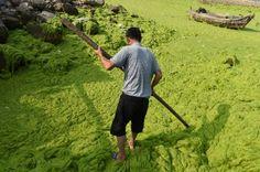 China: Yellow Sea turns green as Qingdao beaches are covered in algae [Photos] Yellow Sea, Green Algae, Qingdao, Roots, China, Beach, Cover, The Beach, Beaches