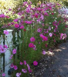 cosmos and white picket fence-beautiful