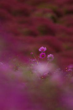 prettylittleflower:    ひたち海浜公園 2012 #15 (by kobaken (こばけん))