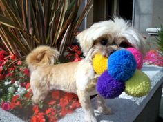 XAVIER is an adoptable Lhasa Apso Dog in West Los Angeles, CA, Lhasa Happy Homes