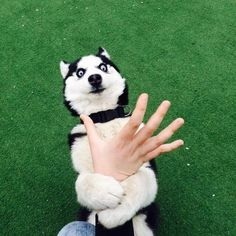 Or Just Plain High | Community Post: 21 Times A Husky's Expression Said It All
