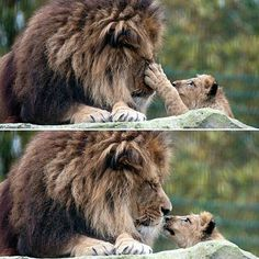 This lion cub's tender touch on his father shows the strong paternal bond between them as the lion cub lost his mother on Christmas Eve. Photo credit: Blackpool Zoo @blackpoolzoo #lion #animal #photography #blackpoolzoo #blackpool #zoo #cute #family #cat