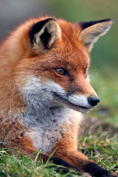 Fox Pictures, Cute Animal Pictures, Taxidermy Fox, Fox Totem, Pet Fox, Fox Art, Mundo Animal, Wild Dogs, Cute Little Animals