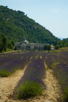 Picture - Lavender in front of the Senanque Abbey in Vaucluse, France. | PlanetWare