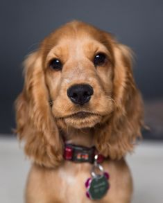 """""""Mi piace"""": 1,082, commenti: 21 - M i s s R u b y (@miss.ruby.the.cocker.spaniel) su Instagram: """"So the humans are now asking me to ring a bell every time I have to go potty. Am I crazy or is this…"""""""