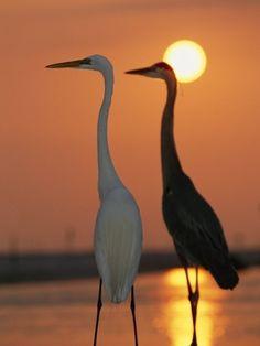 Egrets at Sunset
