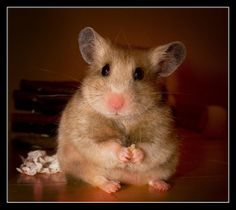 I double hammie dare you not to smile Pet Rodents, Chinchillas, Pictures Of Beautiful Places, Cute Hamsters, Little Critter, Gerbil, Guinea Pigs, Rats, Mammals