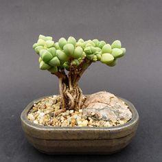 Suculentas - Loja - Plantas oferecidos - Corpuscularia Tayloria (África do Sul)