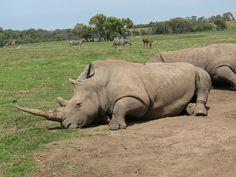 A crash of rhinos lazing around at the Werribee Zoo
