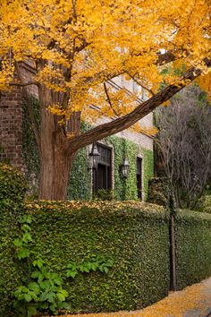 Ginkgo Tree and Vine Covered House, Charleston, SC © Doug Hickok All Rights Reserved More here… hue and eye