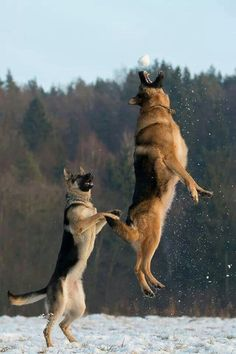 Looks like my Tobydog and Sasha. Except Toby can't jump like that anymore