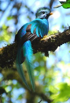 Quetzal bird, the national bird of Guatemala, if you are ever a tourist and see one it is said you will have good luck and an unforgetable adventure.