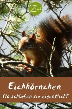 Wir sehen Eichhörnchen oft tagsüber auf Bäume klettern, elegant von Ast zu Ast springen oder – weniger gut – über die Straße laufen. Doch wo schlafen Eichhörnchen eigentlich? Und wohin ziehen sie sich zurück, wenn es regnet oder stürmt? Die Antwort finden Sie hier. Eichhörnchen I Eichhörnchen Futterhaus I Tiere im Garten Fox, Elegant, Animals, Road Running, Climbing, Animales, Lawn And Garden, Classy, Animaux