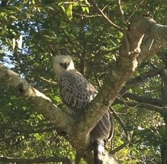 Crowned Eagle on the golf course at Zimbali! South Africa, Golf Courses, Eagle, Live, Travel, Africa, Voyage, Eagles, The Eagles