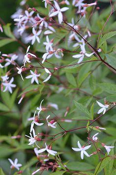 Gillenia trifoliata, Dreiblattspiere, bowmans root