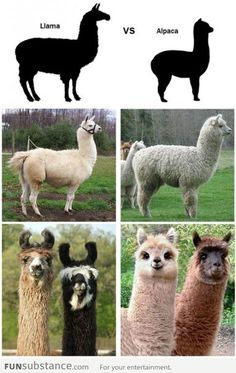 Funny pictures about The Difference Between A Llama And An Alpaca. Oh, and cool pics about The Difference Between A Llama And An Alpaca. Also, The Difference Between A Llama And An Alpaca photos. Alpacas, Animals And Pets, Baby Animals, Funny Animals, Cute Animals, Funny Cute, Hilarious, Camelus, Tier Fotos