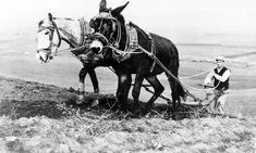 A Missouri mule plows with a horse in Greece as part of the Marshall Plan assistance.  Date: ca. 1949