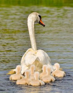 Swans:  #Swan and #cygnets.