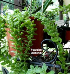 Kalanchoe Synsepala | ... my newest plant Kalanchoe synsepala var.synsepala which is quite rare