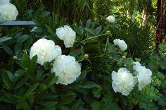 Google Afbeeldingen resultaat voor http://www.tuinenzo.nl/plantenwebsite/wit/pioenroos%2520wit%2520%2520072%2520(Small).jpg