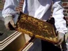 Mise en place d'un essaim d'abeille dans une ruche; l'essaimage.