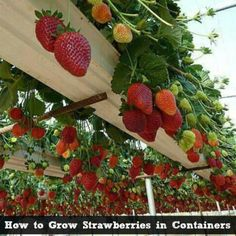 Gardening in Containers: Suspending strawberries off the ground is a great way to keep slugs, snails, and sow bugs off them.