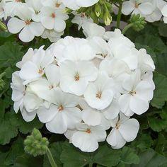 15 geranium seeds logro nano white Pelargonium Seeds #PelargoniumSeeds
