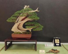 Itoigawa __ UBI mention of merit 2013 [Mauro Collections] DISMANTLING JUNIPER BONSAI SECRETS