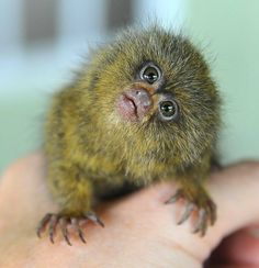 A pygmy marmoset named Ninita likes to eat, climb, play, and be combed with a toothbrush by the gentle humans at the Rare Species Conservatory Foundation Tiny Monkey, Cute Baby Monkey, Pet Monkey, Pretty Animals, Cute Baby Animals, Animals Beautiful, Funny Animals, Animal Babies, Marmoset Monkey