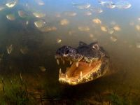 Luciano Candisani from Brazil- A yacare caiman remains motionless while waiting for fish to swim within snapping reach.