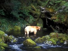 """What you are looking at is not an albino, or polar bear. This is the rare Kermode Bear, also known as a """"spirit bear. Reptiles, Mammals, What Is A Spirit, Spirit Bear, Bear Images, Cedar Lake, Call Of The Wild, Albino, Black Bear"""