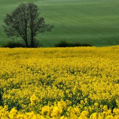 Oilseed Rapefield somewhere in Staffordshire, England by judder1952, via Flickr