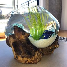 West Elm Wood + Glass Terrarium used for a betta bowl