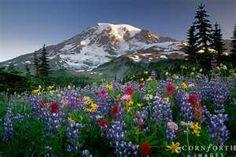 Mazama Ridge Wildflowers  Mount Rainier National Park, Washington