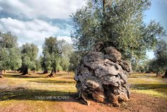 "Olive trees. Ostuni, the ""White city"", Puglia"