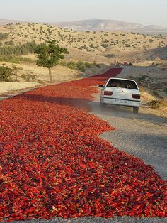 How is this for an eyeful? Eastern Anatolia, the road with a river of red peppers all laid out to sun dry.  Absolutely had to stop, could not miss this photo op...   #peppers #Turkey