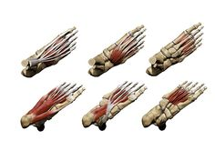 Muscles of the Foot (Right) - Alayna Guza