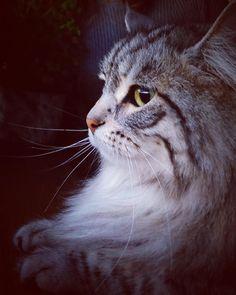 Pigeon watching...  #finnstagram #fluffykitty #finnthesiberiankitty #finnthesiberiankitten #instacat #instapet #ilovemycat #instakitty #cat #cats #cute #catsofinstagram #catstagram #pet #petstagram #petsofinstagram #kitty #kitten #kingfinn #kittycat #kittylove #kittygram #kittensofinstagram #siberiankitten #siberiancat #handsomeboy #handsomekitty by finn_the_siberian_kitty