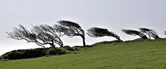 something of weather-related interest was found as a bonus: these amazing, wind-bent thorn-trees on the exposed high ...