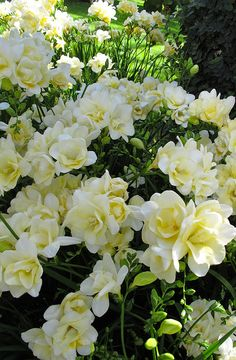 Freesia flowers in bloom, they come in many different colors and are so fragrant