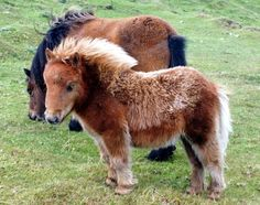 Brygarth Shetland Ponies - I can't cope with how cute Kelpie is Cute Baby Horses, Tiny Horses, Baby Animals Super Cute, Cute Animals, Barn Animals, Animals And Pets, Beautiful Horses, Animals Beautiful, Miniature Ponies