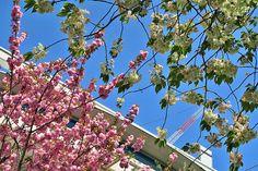 2015年4月17日(金)こんにちは。今日は特別良い天気。上着なしで加古川駅前へ散歩に出ました。ベルデモール加古川で恐らく一番最後に咲く桜、「サトザクラ」と「ウコンザクラ」が見頃を迎えています。どちらも大輪の八重咲き。青空に映えて、とっても綺麗です!!!2品種を1枚に撮れるスポットは、「ミヤコ本店」さんの前あたり。ぜひ足を止めて見上げてみてください(^^  それでは、今日も皆様にとって良い1日になりますように☆ 【加古川・藤井質店】http://www.pawn-fujii.jp/