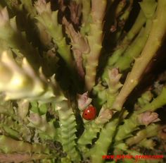 afidi sulle piante grasse