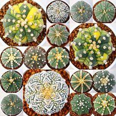 Astrophytum