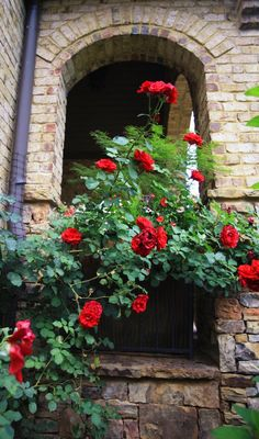 """""""Don Juan"""" Rose Vine in a Container"""