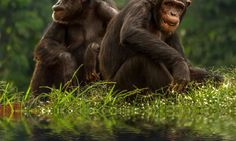 The chimpanzee can be found in the rainforests, grasslands, and woodlands of Central & Western Africa. Like us, chimps are highly social animals that National University Of Singapore, Human Evolution, Chimpanzee, Tarzan, Disney S, Aquarium Fish, Predator, Africa, Muscle