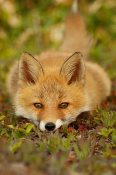 Wildlife Photography: Red Fox Nestled Down. This Fox is so Pretty! Nature Animals, Woodland Animals, Animals And Pets, Baby Animals, Cute Animals, Strange Animals, Wild Animals, Wildlife Photography, Animal Photography